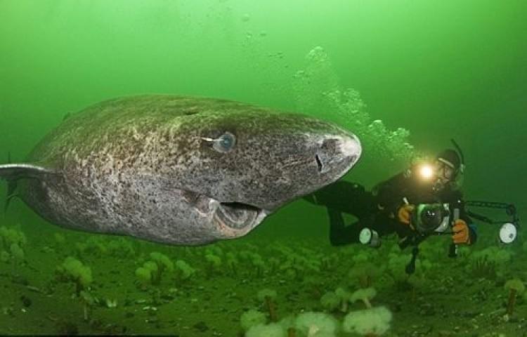 400 Yaşında Köpek Balığı Bulundu